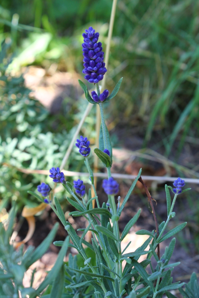 Lavendel Angustifolia officinalis